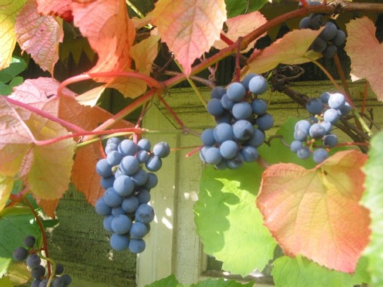 Виноград амурский - фото 4504