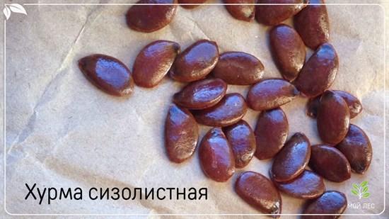 Хурма сизолистная - фото 4513