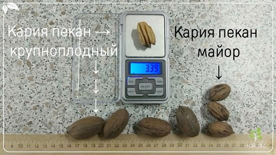 Кария пекан крупноплодный - фото 4629