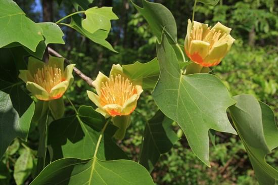 Лириодендрон тюльпановый - фото 4950