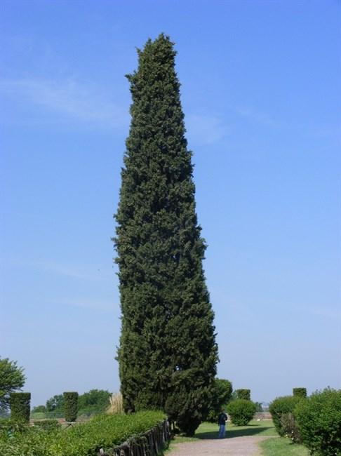 Кипарис вечнозеленый пирамидальный - фото 5347