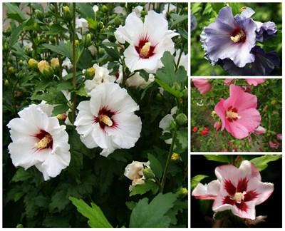 Гибискус сирийский, микс цветов - фото 5685