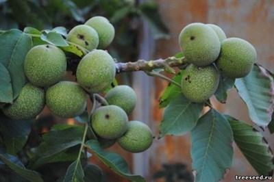 Грецкий орех Идеал Саратовский - фото 5725