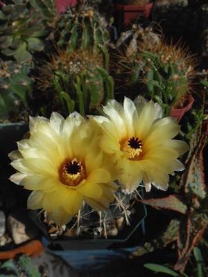 Нотокактус Notocactus tureczekianus - фото 5790