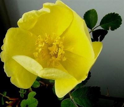 Шиповник желтоватый - фото 5866