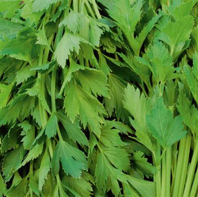 Сельдерей листовой Парус - фото 5959