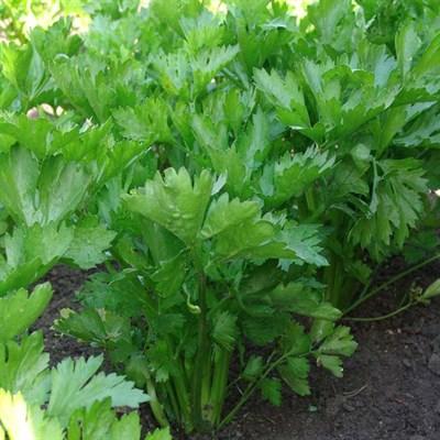 Сельдерей листовой Нежный - фото 5960