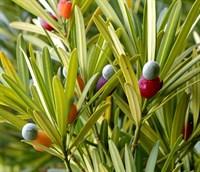 Подокарпус крупнолистный, мармеладное дерево