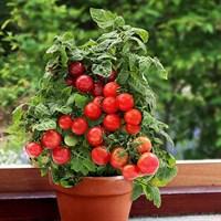 Томат «Балконное чудо»